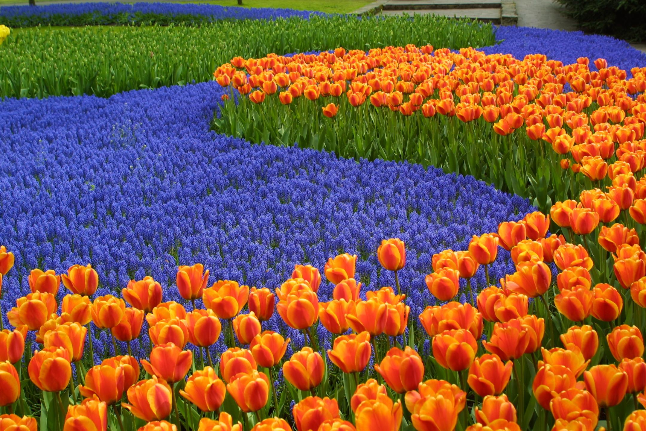 Тюльпаны в парке Кекенхоф