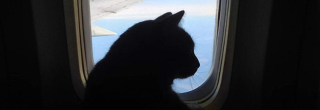 Перевозка кошки в самолете  основные правила